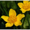 caltha-palustris-1